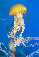 435250010 pacific sea nettle chrysaora fuscescens swim and float in their aquarium at the long beach aquarium in long beach california