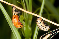 Pappelblatt-Käfer, Roter Pappelblattkäfer, Larve beim Verpuppen, Puppe, Chrysomela populi, Melasoma populi, Red poplar leaf-beetle, poplar leaf beetle, poplar beetle