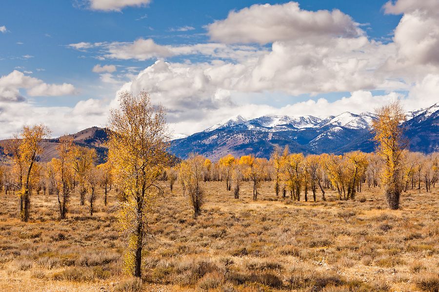 Autumn brings yellow leaves to the branches of aspen trees in Wyoming.