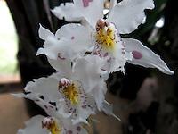 BOGOTÁ-COLOMBIA-15-01-2013. Orquídea Odontoglossum Crispum. Orchid Odontoglossum Crispum. (Photo:VizzorImage)