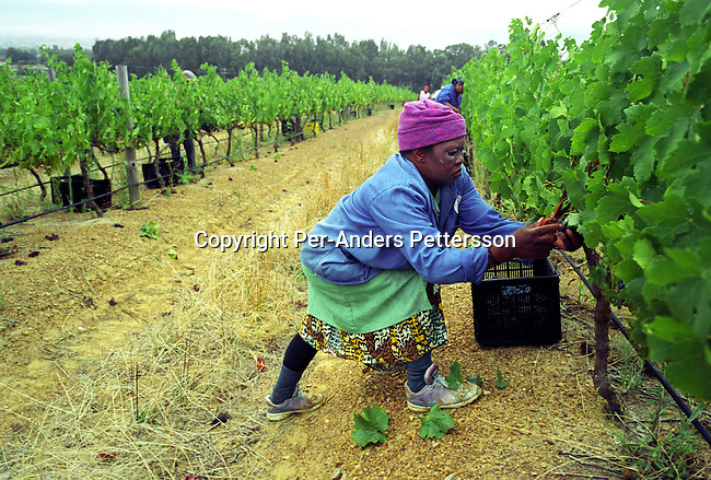 WELLINGTON, SOUTH AFRICA - JANUARY 28: An unidentified woman picks grapes during the yearly harvest on February 29, 2004 at Nelson Creek vineyard outside Wellington, about 40 miles from Cape Town, South Africa. South African vine growers have seen a big increase in export sales since the fall of Apartheid and democracy in the country since 1994. Many South African goods were boycotted during the Apartheid era, where many countries imposed sanctions on the South Africa. .(Photo: Per-Anders Pettersson/Getty Images)....