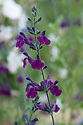 "Salvia x jamensis 'Nachtvlinder', early July. The word nachtvlinder is Dutch and means ""night butterfly"" - or ""moth""."