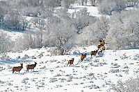 A blanket of fresh snow provides a silent retreat for cow and calf elk after a long night of feeding in an open sage meadow. Wasatch Mountains, Utah.