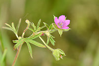 Cut-leaved Crane's-bill - Geranium dissectum