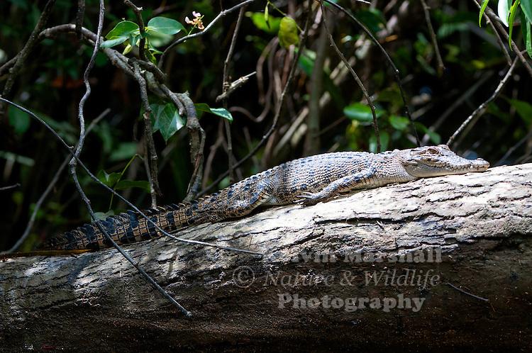 Sub - adult saltwater or estuarine crocodile (Crocodylus porosus) - sunbaking on a river bank. Daintree river, Far - North Queensland, Australia.