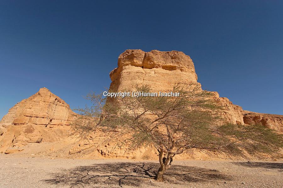 Israel, the Negev desert. Acacia tree in Wadi Paran