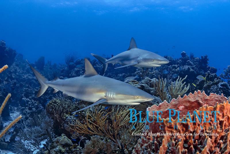 Caribbean Reef Sharks, Carcharhinus perezii, Bahamas., Caribbean, Atlantic