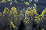 Light on Trees, Forest, Ontario, Canada
