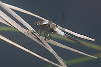 Chalk-fronted Corporal (Ladona julia) Dragonfly - Male, Harriman State Park, Stony Point, Rockland County, New York