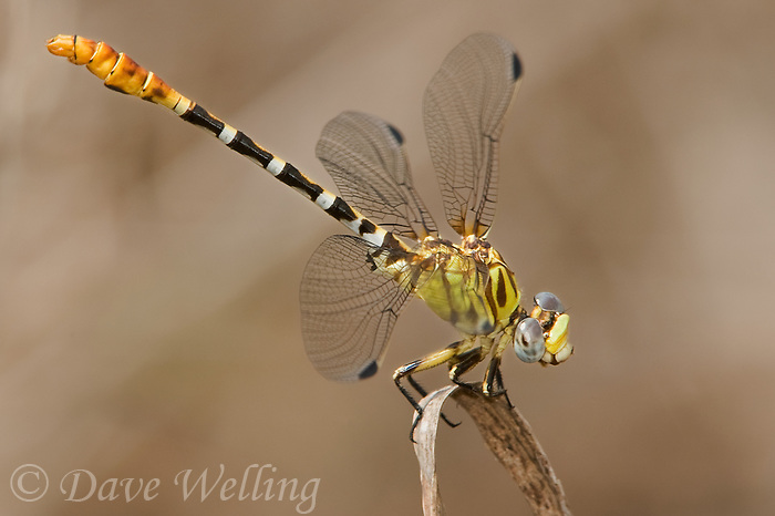 385350014 a wild male eastern ringtail dragonfly erpetpogomphus designatus  on a small branch santa ana national wildlife refuge texas