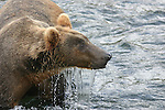 Alaska brown bear bathing