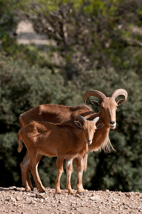 Barbary Sheep, mother and lamb, (Ammotragus lervia)