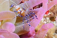Spotted cleaner shrimp, Periclimenes yucatanicus, Bonaire, Caribbean Netherlands, Caribbean