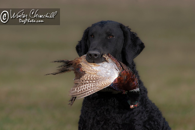 Curly Coated Retriever<br /> <br /> <br /> Shopping cart has 3 Tabs:<br /> <br /> 1) Rights-Managed downloads for Commercial Use<br /> <br /> 2) Print sizes from wallet to 20x30<br /> <br /> 3) Merchandise items like T-shirts and refrigerator magnets