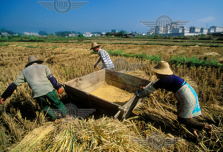 Dai people threshing harvested rice on agricultural land suffering encroachment from the expanding city..