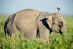 Asian Elephant, Elephas maximus, adult feeding in long grass, Kaziranga National Park, Assam, India, World Heritage & IUCN Category II Site, .India....