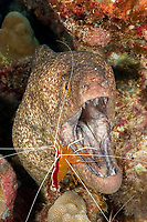 scarlet lady cleaner shrimp, Lysmata amboinensis, cleaning yellow-edged moray, yellowmargin moray eel, Gymnothorax flavimarginatus, at cleaning station in coral reef, Honokohau, Kona, Big Island, Hawaii, USA, Pacific Ocean