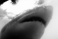 Great White Shark (Carcharodon carcharias) mouth open, underwater view