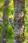 Female yellow-bellied sapsucker in northern Wisconsin.
