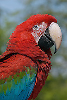 Green-winged Macaw (Ara chloroptera).  Range: Central and South America..