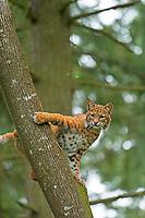 Bobcat in western Washington