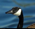 Canada Goose Portrait, Sepulveda Wildlife Refuge, Southern California