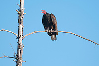 Turkey vulture, Cathartes aura. Mendocino County, California