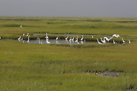 Egrets gather in pond to forage on mummichogs; Stone Harbor, NJ