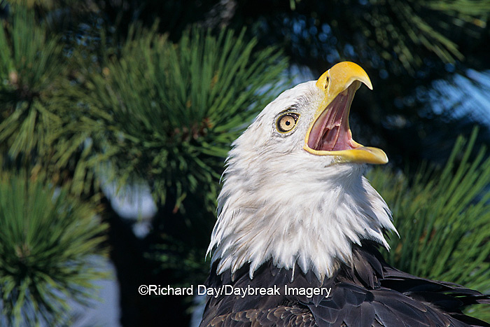 00807-02715 Bald Eagle (Haliaeetus leucocephalus) screaming in pine tree   CO