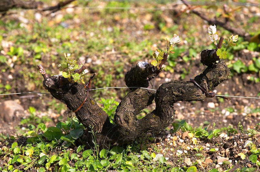 semillon gobelet pallise old vine sandy gravelly soil vineyard chateau d'yquem sauternes bordeaux france