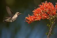 Hummingbird Feeding on Ocotillo Blooms