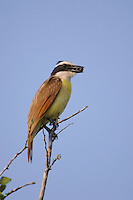 Great Kiskadee, Pitangus sulphuratus, adult with saffron plum (Sideroxylon celastrinum) berries, Willacy County, Rio Grande Valley, Texas, USA, June 2006