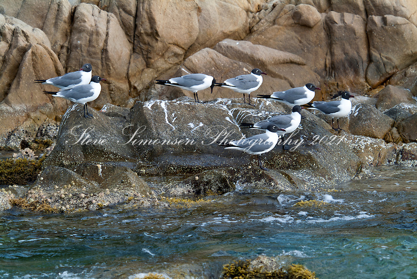 Laughing Gulls<br /> on and around<br /> Cooper Island<br /> British Virgin Islands