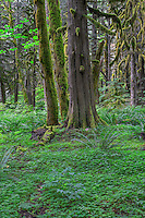 ORCAN_D176 - USA, Oregon, Mount Hood National Forest, Salmon-Huckleberry Wilderness, Lush spring forest with western red cedar and bigleaf maple.