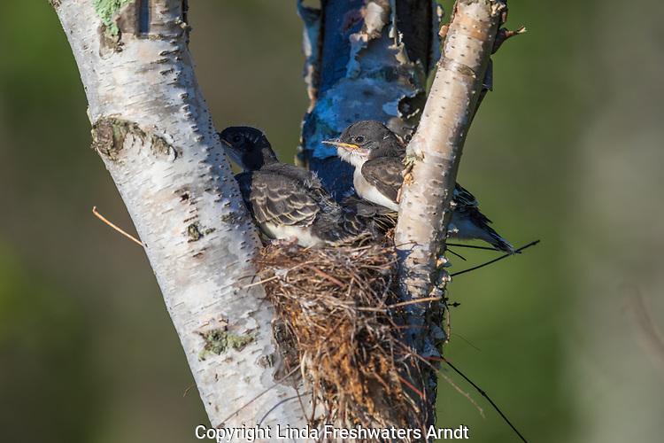 Eastern kingbird - nestlings