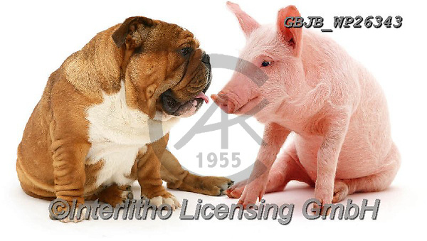 Kim, ANIMALS, REALISTISCHE TIERE, ANIMALES REALISTICOS, fondless, photos,+Bulldog and middle white piglet.,bulldog, and, middle, white, piglet, animals, dogs, pets, funny, comical, amusing, comic, pi+gs, english, white background+++,GBJBWP26343,#a#, EVERYDAY