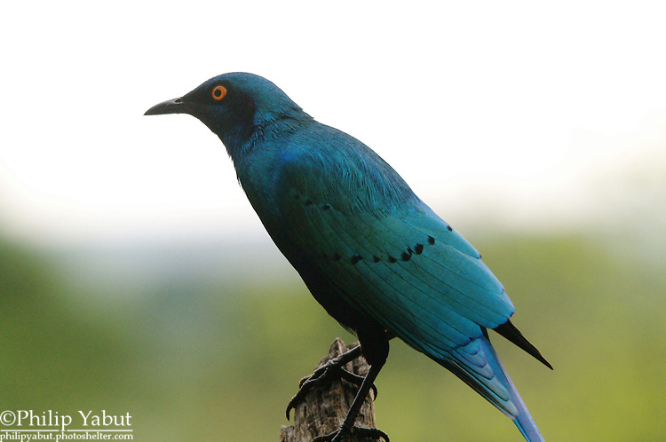 Black-bellied starling (Lamprotornis corruscus), Zambezi National Park at Imbabala Safari Lodge, Zimbabwe