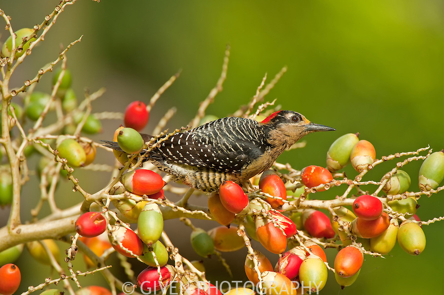 Black-cheeked Woodpecker feeding, Belize