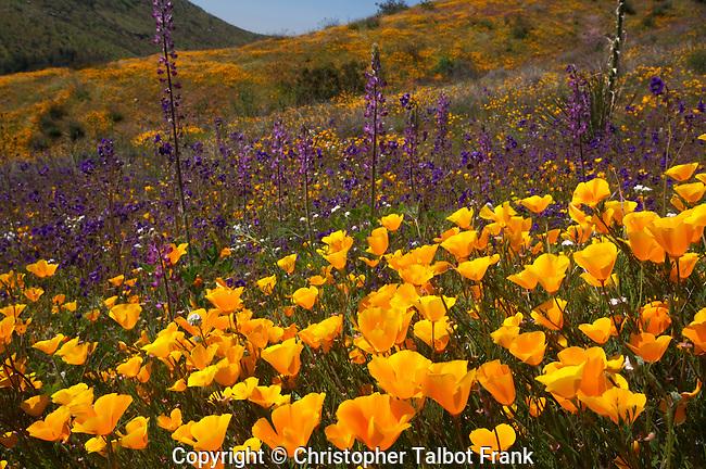 USA, California, San Diego. Poppy wildflowers in Rattlesnake Canyon