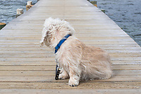 Mustard colored Dandie Dinmont Terrier, sitting on a wooden Jetty at a Beach in Scandinavia, looking towards the shore. Wearing a blue collar and a dark brown leather leash.