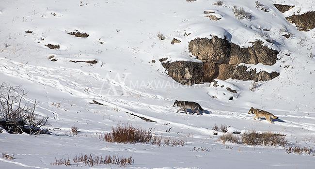 Members of the Lamar Canyon Pack roam the Lamar Valley.