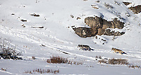 Members of the Lamar Canyon Pack roam the Lamar Valley.