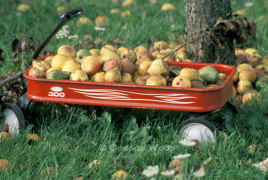 Pears in a Child's Red Wagon