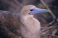 Red-footed boobies, as well as having bright red feet, have wonderful colouring on their beaks.