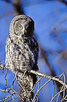 Great Gray Owl, Wyoming