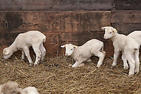 Lambs at Ferme Eboulmontaise farm in the Charlevoix city of Les Éboulements, Qc. Charlevoix lambs are the first food product in North America to be legally protected based on its region of origin.
