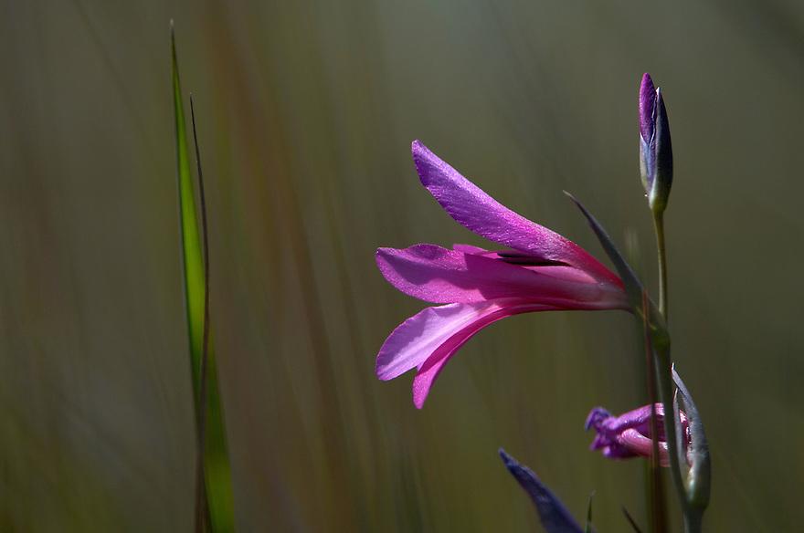 Field Gladiolus  (Gladiolus italicus), Polis, Cyprus