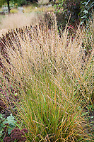 Molinia caerulea 'Moorflame' meadow grass in demo garden at Northwind Perennial farm, Wisconsin