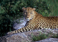 Leopard lays gracefully on rock kopje, Serengeti National Park, Tanzania