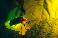 FIREFLIES (LIGHTNING BUGS).Photinus Pyralis. Flashing On Leaf.A firefly flashes when O2, breathed in through the abdominal tracheae, combines with the substance luciferin under the catalytic effect of the enzyme luciferase. The light is 90-98% efficient.